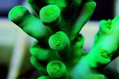 Ultra Underwater Macro Shots On Acropora Sps Coral poster