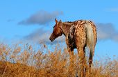 foto of appaloosa  - Appaloosa horse at dusk on ranch in Canada - JPG
