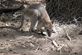 The Joey Wallaby Is Exploring His Surroundings poster
