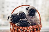 Pug Dog Puppies Sitting In Basket. Little Puppies Having Fun. Breeding Dogs poster