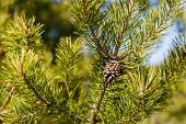 Pine Cone On Green Pine Branch In The Woods, Young Pine Cone poster