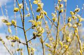 Pussy Willow Branches In Spring Sunny Day Against Cloudy Sky poster