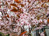 Rose Beautiful Blooming Bird Cherry In The Spring Sunny Day. White Bird Cherry.blossoming Bird-cherr poster