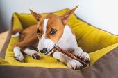 Close-up Portrait Lovely Basenji Puppy Dog Enjoying His Treat In Puppy Mat At White Wall Background. poster