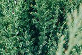 Green Fir Tree Branches Background. Fluffy Fir Tree Brunch Close Up. poster