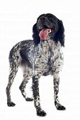 stock photo of epagneul  - portrait of a brittany spaniel in front of white background - JPG