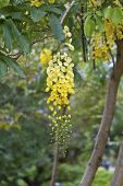 image of vishu  - view of golden shower tree flowers in summer