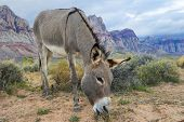 stock photo of wild donkey  - A wild burro in the Nevada desert - JPG