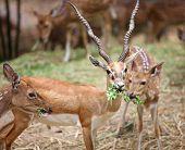 pic of black tail deer  - Black buck and spotted deer in the safari - JPG