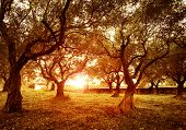 picture of cultivation  - Picture of beautiful orange sunset in olive trees garden - JPG