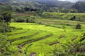 picture of negro  - Terraces filled with green ripe stalks of rice in southern Philippine Islands - JPG