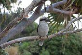image of kookaburra  -