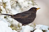 blackbird in natural habitat (turdus merula)