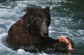 USA Alaska Katmai National Park Brown Bear feeding on salmon in river