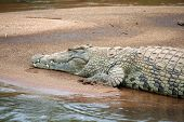 picture of crocodilian  - Nile crocodile lying in sun on sandbank in river in Kruger National Park in South Africa - JPG