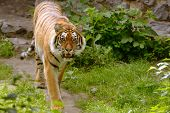 foto of growl  - Growling tiger in a park - JPG