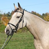Portrait Of Nice Kinsky Horse With Bridle In Autumn