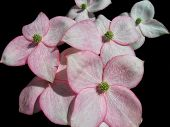 foto of dogwood  - A group of pretty pink flowers on a dogwood tree - JPG