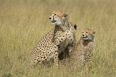 image of cheetah  - Cheetah mother with two cubs in South Africa - JPG