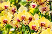 foto of yellow orchid  - Beautiful yellow orchid flowers closeup - JPG