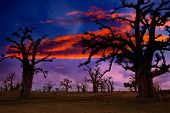 stock photo of nightfall  - Africa sunset in Baobab trees colorful sky  - JPG