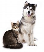 Alaskan Malamute  and cat breeds Maine Coon, Cat and dog