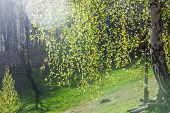 picture of birching  - green birch on spring season - JPG