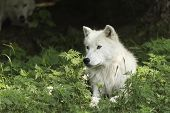 stock photo of wolf-dog  - Arctic Wolves in a forested environment playing or resting - JPG