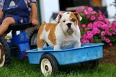 picture of wagon  - An adorable English Bulldog puppy rides in a toy blue wagon driven by the young boy just off camera - JPG