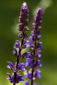 stock photo of purple sage  - the herbacious perennial woodland sage or balkan clary  - JPG