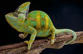 image of chameleon  - The Veiled chameleon is a large chameleon species found in Yemen and Saudi Arabia - JPG