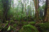 pic of rainforest  - Lush australian rainforest with fog and mossy trees - JPG