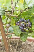 foto of pixie  - Vitis Vinifera a new pixie grape vine with ripe grapes to be eaten or to make wine?