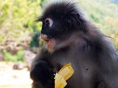 stock photo of spectacles  - The spectacled Langur is also known as the Dusky Leaf Monkey or Spectacled Leaf Monkey - JPG