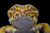 stock photo of gekko  - The leopard gecko is a very popular pet lizard species that is being bred in many colors - JPG