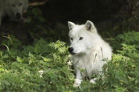 foto of horrific  - Arctic Wolves in a forested environment playing or resting - JPG