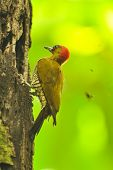 stock photo of woodpecker  - Bark flying from a tree as a woodpecker works to get food - JPG