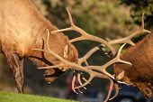 stock photo of domination  - a pair of bull elk fight for dominance in the rut - JPG
