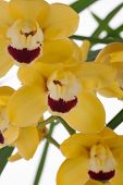 picture of yellow orchid  - Gorgeous yellow Cymbidium orchid flower over white background - JPG