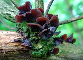 image of judas tree  - Ears judas Auricularia auricula mushrooms growing on a tree in the forest - JPG