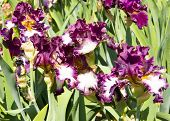 Постер, плакат: Irises Of Violet And White Colours
