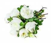 picture of dog-rose  - Bouquet of fragrant flowers of white dog - JPG