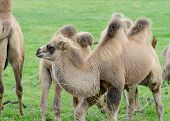 stock photo of hump  - Camel baby profile with two humps standing on grass - JPG