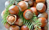 picture of hazelnut tree  - Christmas decoration with hazelnuts and pine tree twigs - JPG