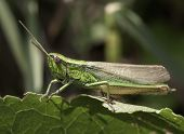 stock photo of hopper  - Macro grasshopper - JPG