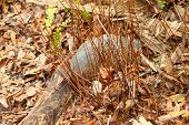 foto of armadillo  - Nine-banded Armadillo (Dasypus novemcinctus) in Highlands Hammock State Park of Florida.