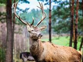 pic of jousting  - Majestic powerful adult male red deer stag in autumn fall forest. Animals in natural environment beauty in nature.