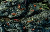 foto of crustations  - red crabs walking on rocks in san crisotbal galapagos selective focus - JPG