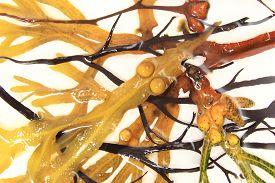 stock photo of algae  - Various algae and brown algae - JPG