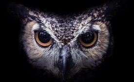 pic of owl eyes  - The big eyes of a beautiful owl looking directly at you - JPG